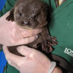 The latest arrival at the International Otter Survival Fund's base on Skye. NO F47 new otter