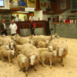 Ian Jordan, Kilvaree, in the ring with his Cheviot ewes with lambs at foot.