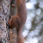 One of he squirrels which have made the Inchree feeding station such a popular attraction for visitors. Photograph: Iain Ferguson, alba.photos NO-F04-Squirrel-Inchree.jpg