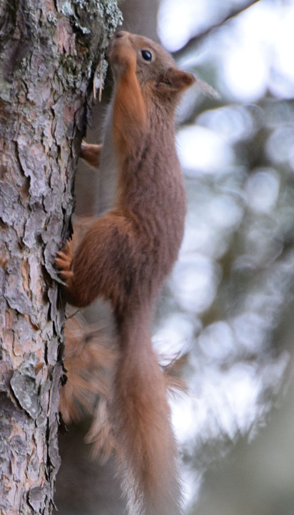 Anger over threat to red squirrel colony from Inchree tree felling