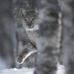 European Lynx (Lynx lynx) adult female peering out from behind tree in winter birch forest. Bardu, Norway. Photograph: ©-scotlandbigpicture.com-01.jpg NO-F05-European-Lynx-Lynx-lynx-adult-female.-Bardu-Norway-©-scotlandbigpicture.com-01.jpg