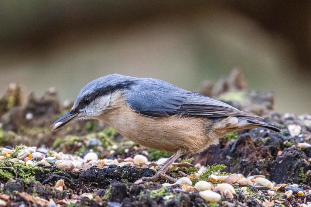 Look out for nuthatches in Argyll this spring