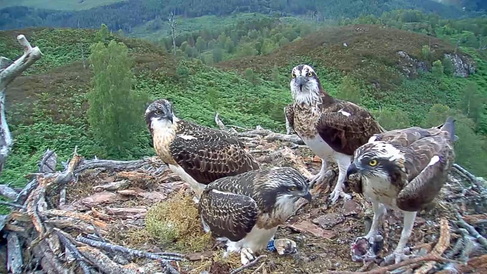 Out of this world experience for Loch Arkaig ospreys