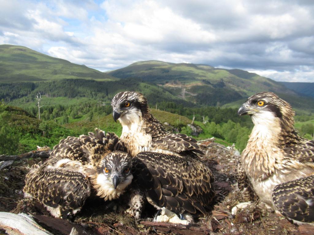 From left Vera, Doddie and Captain. NO_T29_LochArkaigOspreys