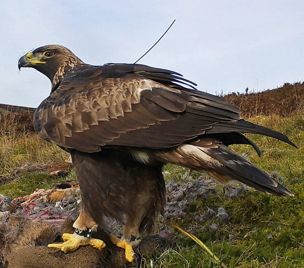 Lochaber golden eagles now soaring across skies of southern Scotland