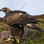 One of two golden eagles translocated from the Highlands to the south of Scotland, Edward, in order to boost the species' tiny numbers in that part of the country. Photograph: South of Scotland Golden Eagle Project NO-F22-eagle-01.jpg