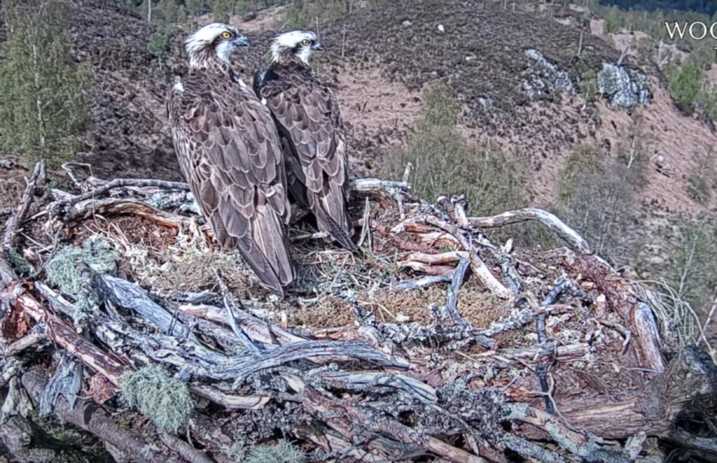 Late arrivals stop for a viewing at Lochaber osprey nest