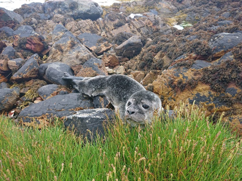 A rather sadder wildlife encounter happened this week though when on a beach litter pick my daughter happened upon a seal pup, pictured. Photograph: Nic Goddard. NO F29 seals