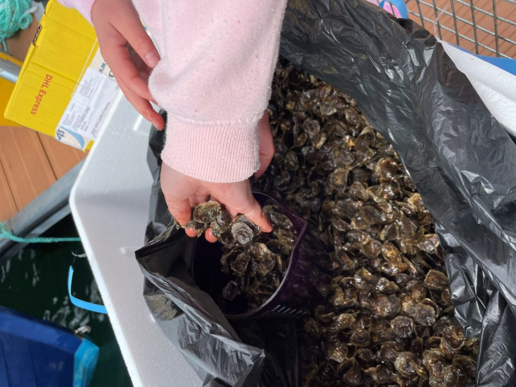 Oyster beds restoration project on the menu at Lochaline