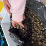 The first batch of oysters will total 20,000, with the first 10,000 already in the nursery cages. Photograph: CAOLAS. NO F31 juvenile oysters