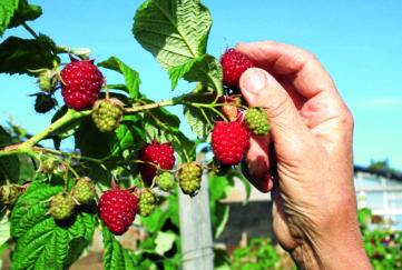 Autumn Bliss rasps in mid September fruits
