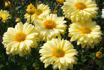 chrysanthemum and disbudding