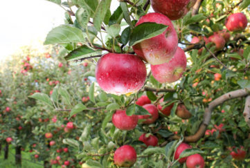 Apple Orchard ready for harvest. Mornig shot after the rain. the september garden