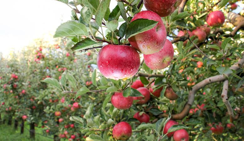 Apple Orchard ready for harvest. Mornig shot after the rain. the september garden