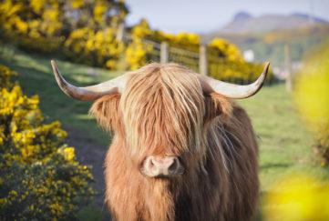 open farm sunday cow