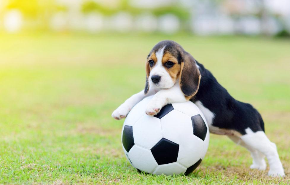 Cute little Beagle playing football in garden
