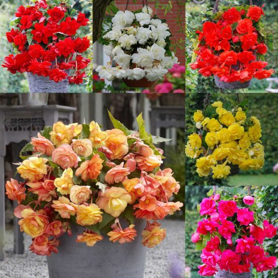 18 Begonia Cascading Collection