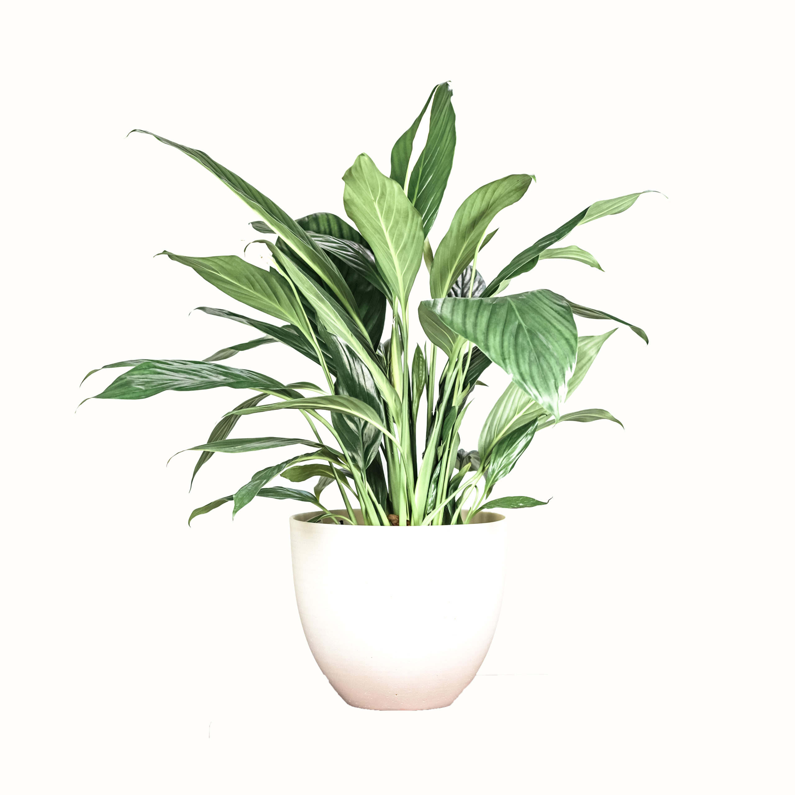 Peace Lily, £24, Leaf Envy