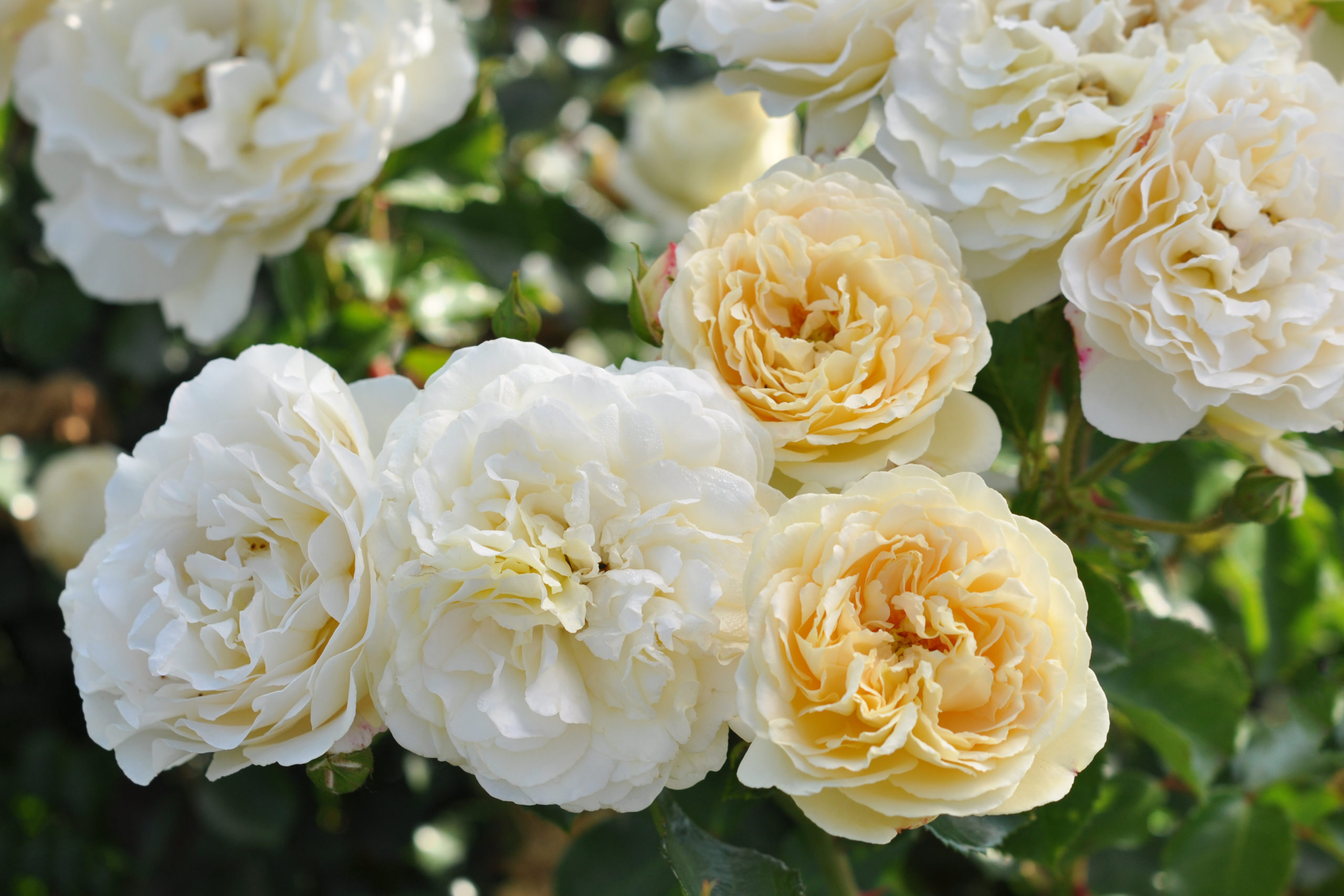 'Virtue'roses, from £16.99, Dobbies