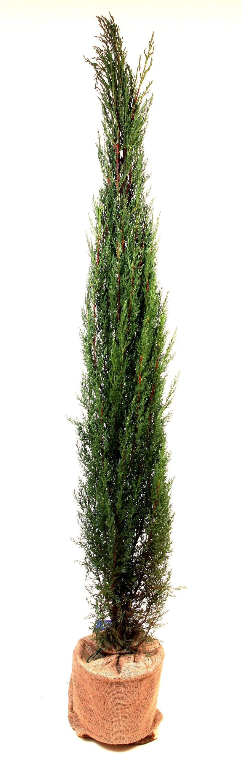 Starter Italian Cypress tree, £80, Trees Direct