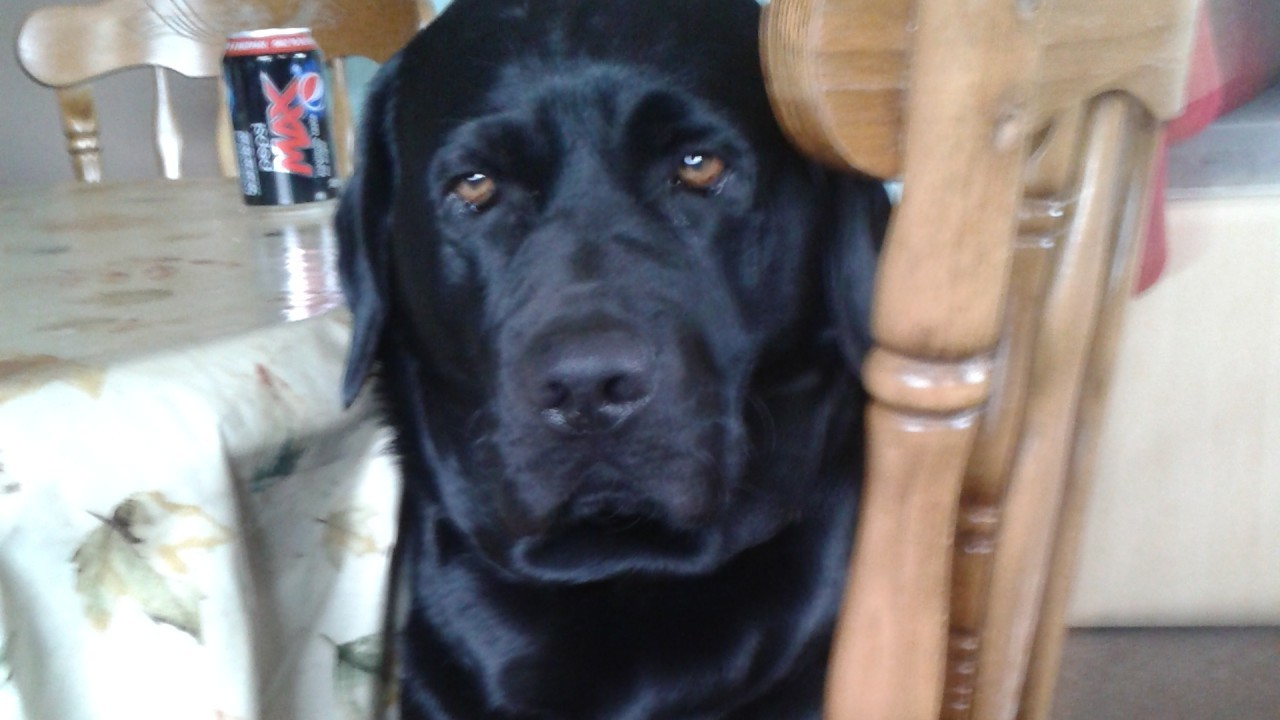 I'm Bailey, a black Lab and here I am just chilling out. I live with Teresa, Kevin, Kieran and Rachel in Echt, Aberdeenshire