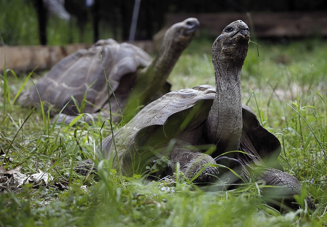A pair of 20-year-old Galápagos tortoises raise their heads as they wander through their new home at The Pittsburgh Zoo & PPG Aquarium on Thursday