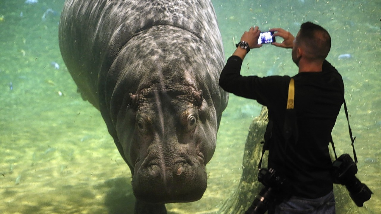 People watch as a hippopotamus, named Genny, looks back at them at Adventure Aquarium, Thursday, May 29, 2014, in Camden, N.J. New Jersey's Adventure Aquarium has a new home for its two Nile hippopotamuses, Genny is 4,000 pounds and Button is 3,000 pounds. They now live in a hippopotamus exhibit, 'Hippo Haven.' The aquarium spent more than $1 million to renovate the hippos' home