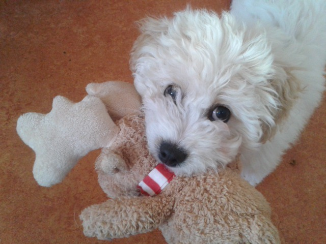 Murphy the Cavachon (cavalier spaniel x bishon frise) is four months old and lives with Jan, Laura and Patrick MacPherson in Forres.