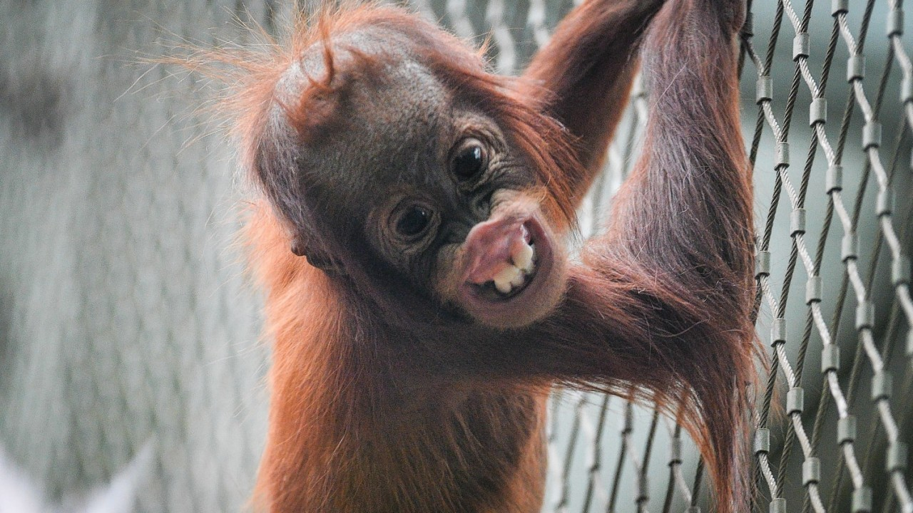 Tripa the baby Sumatran orangutan at Chester Zoo, as the zoo revealed that a study on the dental health of orangutans at the zoo could play an essential role in protecting their wild counterparts thousands of miles away in Borneo and Sumatra