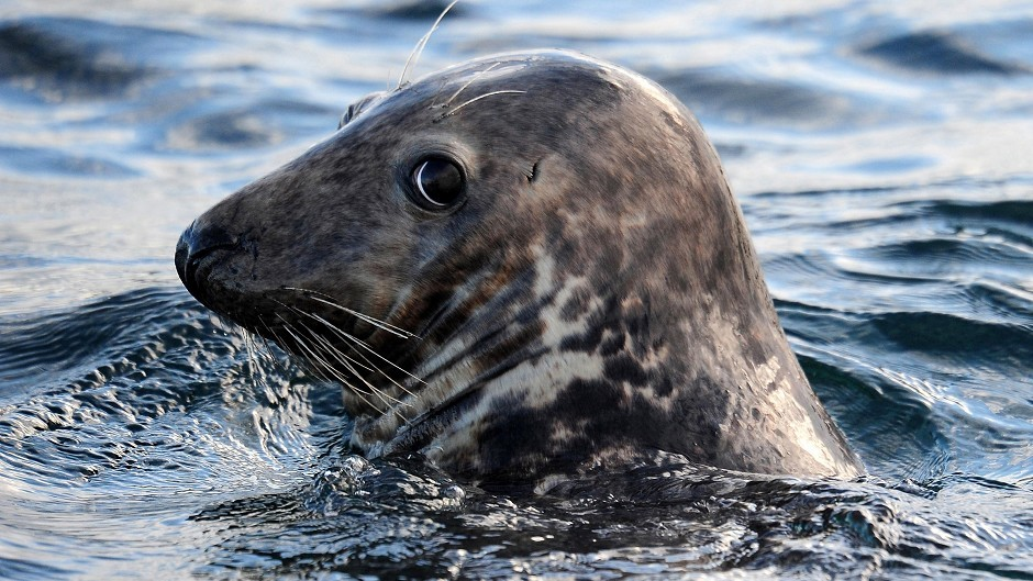 Campaigners are calling for a total ban on shooting seals in Scotland.