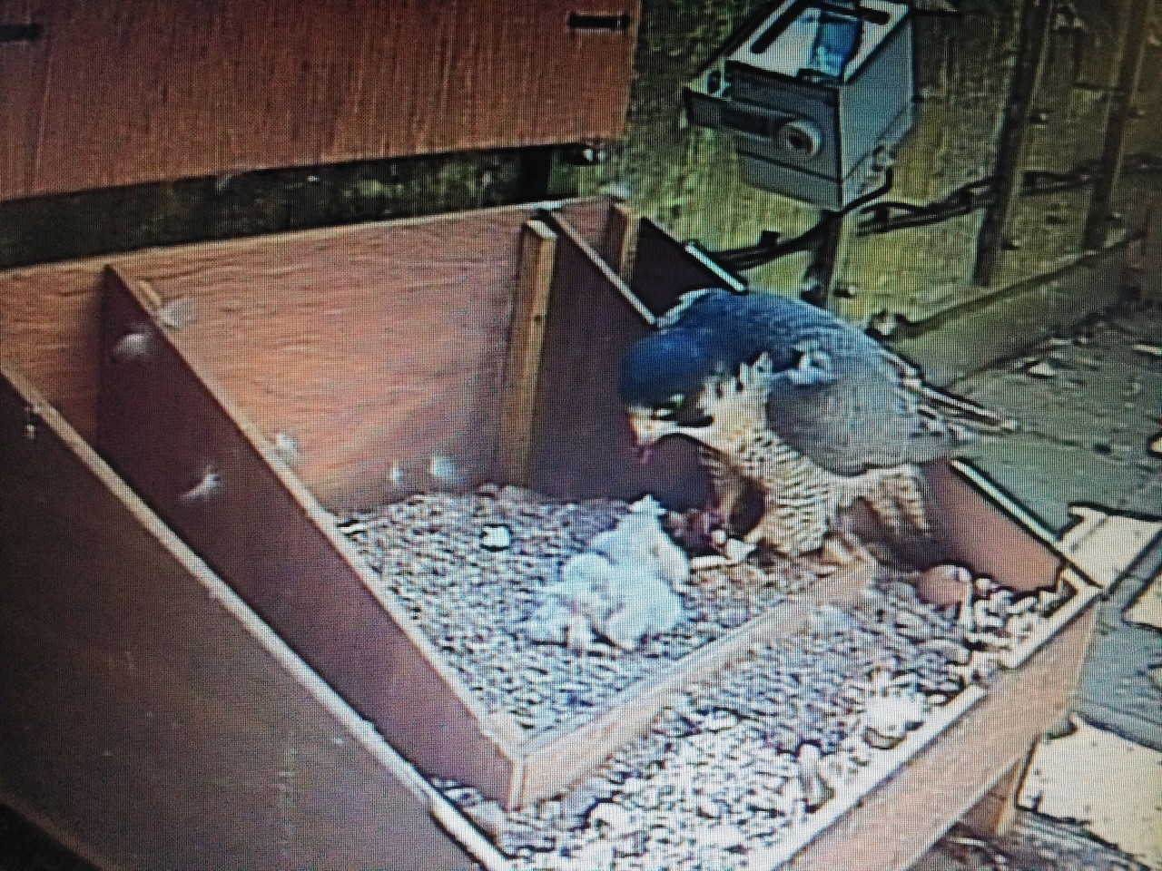 Peregrine falcon chicks with an adult hatched on England's tallest cathedral spire for the first time in more than 60 years in a nesting box installed on Salisbury Cathedral's 403ft spire