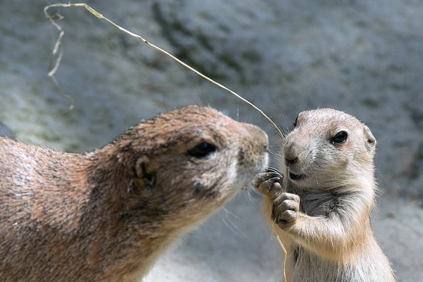 A prairie dog offspring and a parent play in their enclosure at the zoo in Hanover, Germany