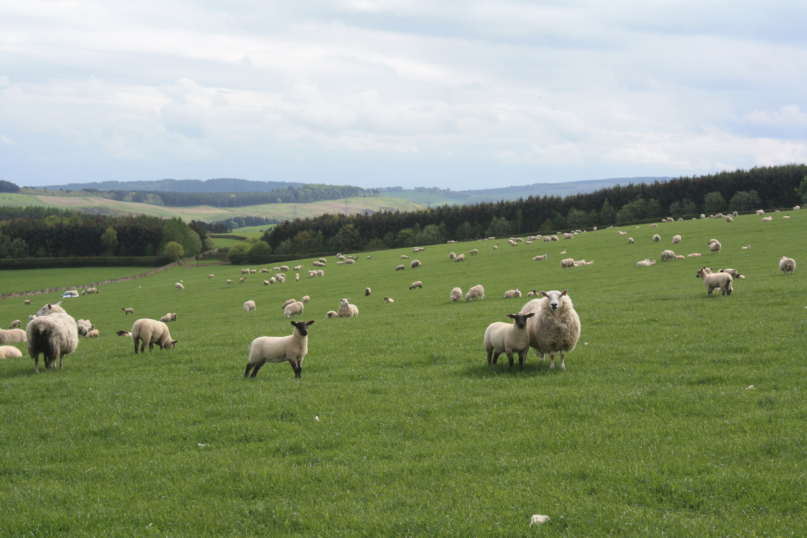New season lamb prices are up 8% on last year