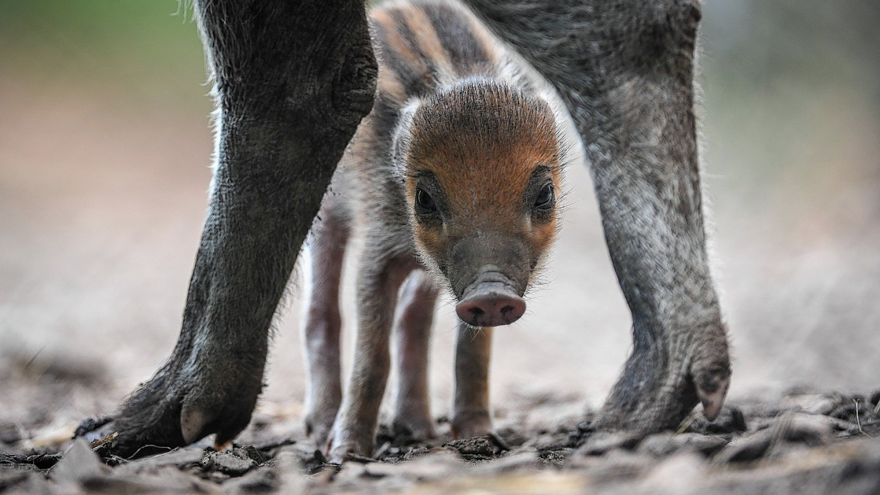 A rare Visayan warty piglet, which born at Chester zoo a week ago
