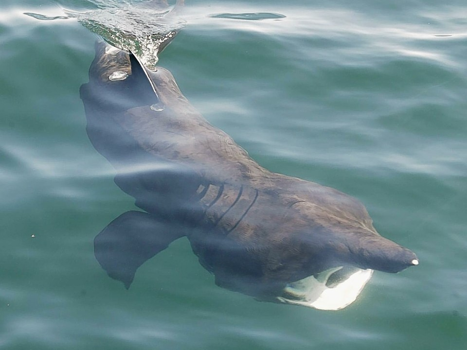Basking sharks were also recently spotted off Coll. Photo credit: Colin Speedie, Wave Action and the Swiss Shark Foundation