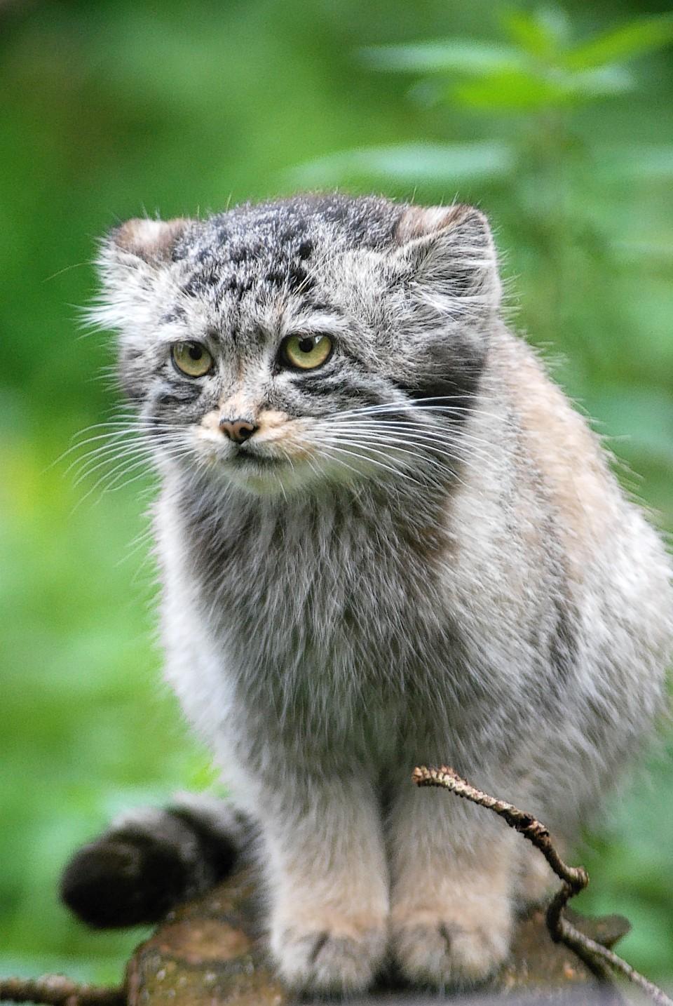 A Pallas Cat