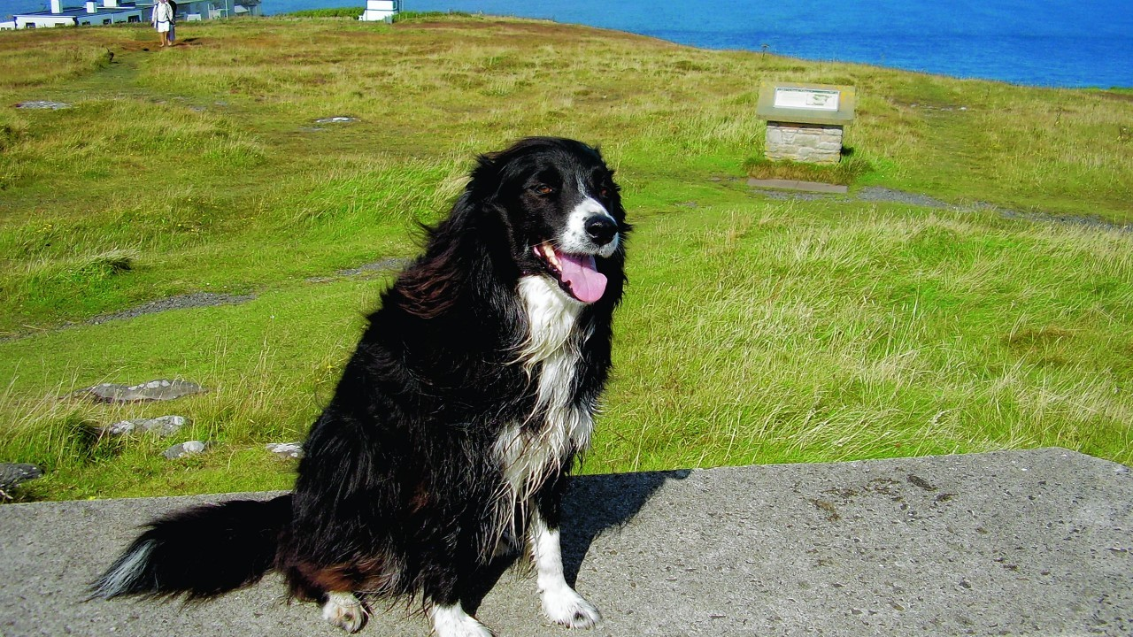 This is Tipsy, the border collie, admiring the view at Dunnet Head in Caithness. Tipsy liv es with Eleanor in Wick.