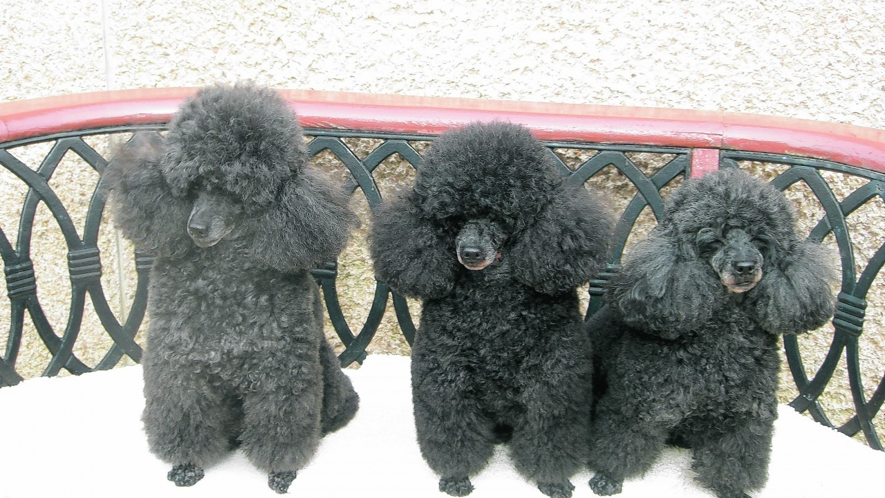 Meet The Three Amigos. Benji, Liza and Zara are toy poodles and here they are enjoying gorgeous weather in Moray where they live with their owners.