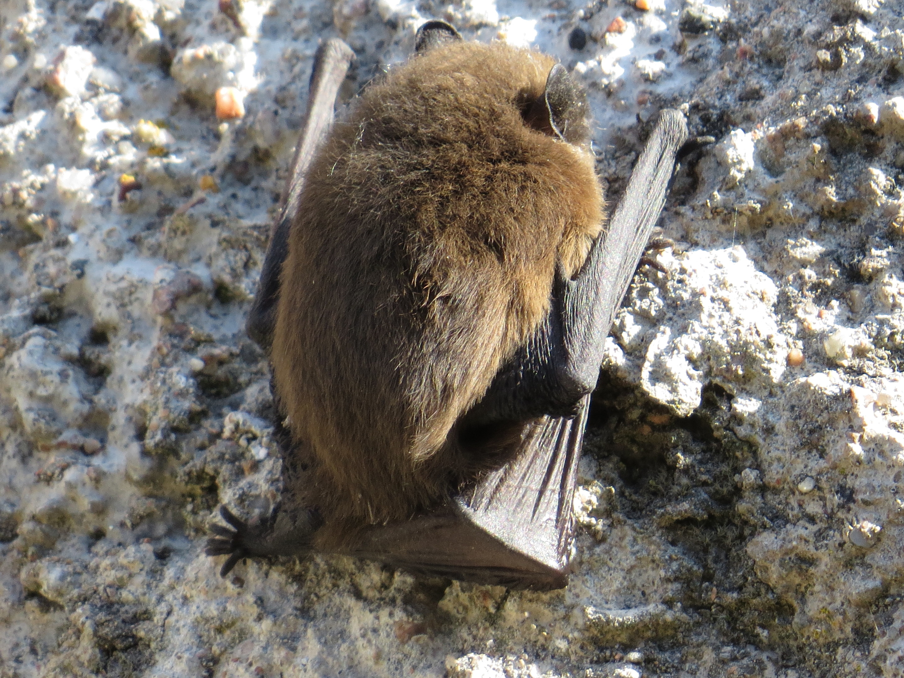 The female bat at the National Trust for Scotland's Drum Castle