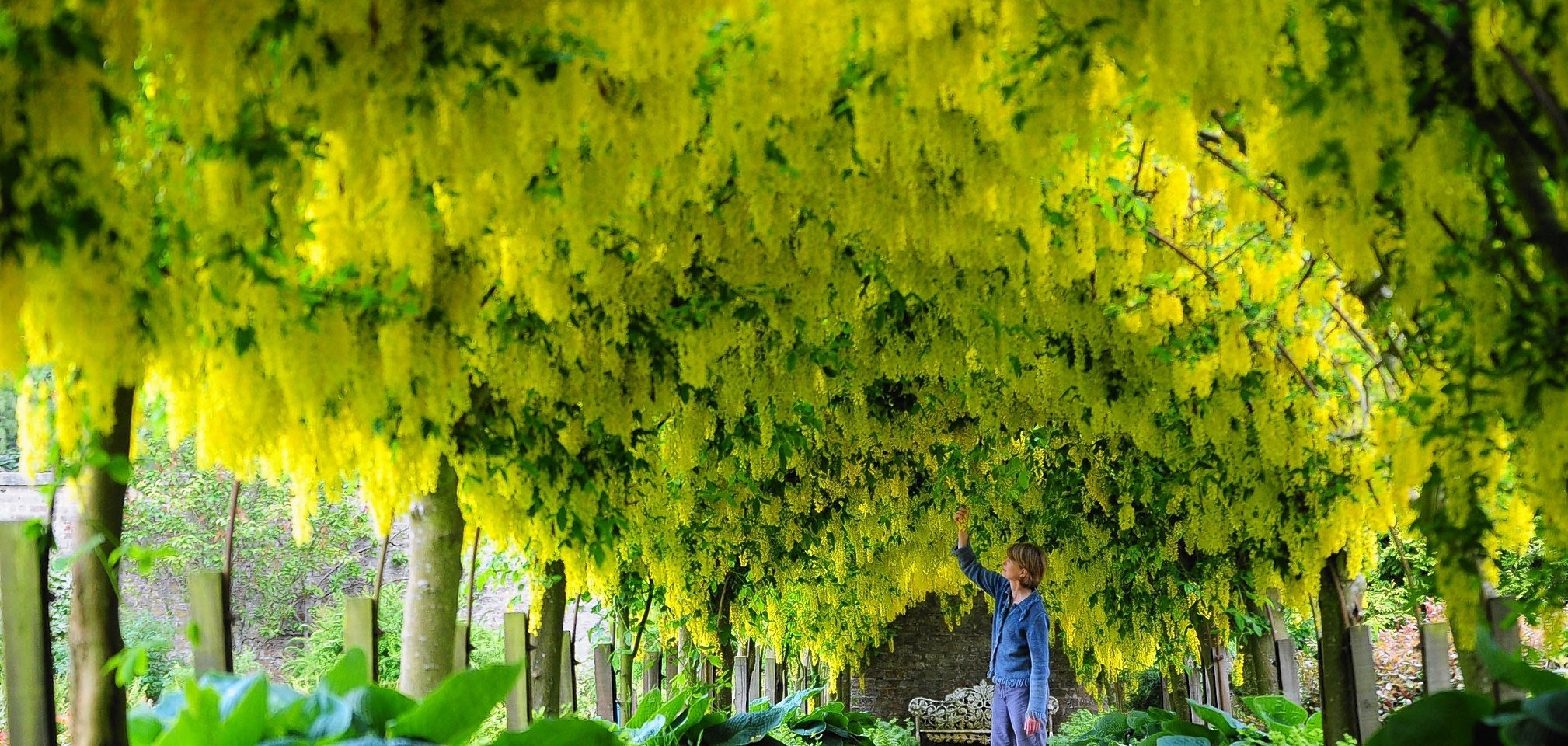 Laburnum trees at the Kincardine Estate