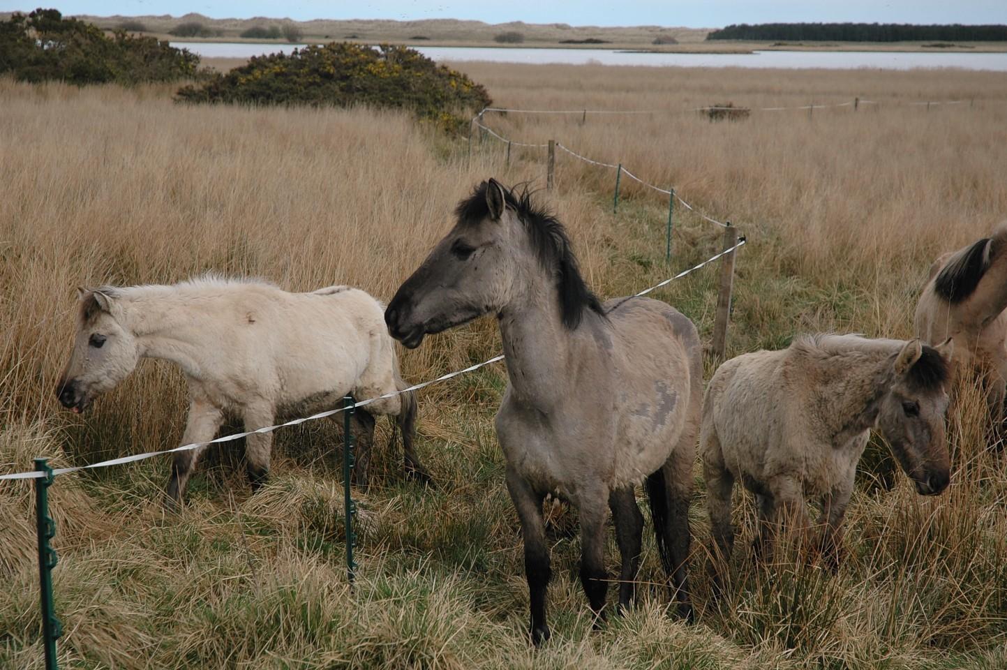 Loch of Strathbeg horses