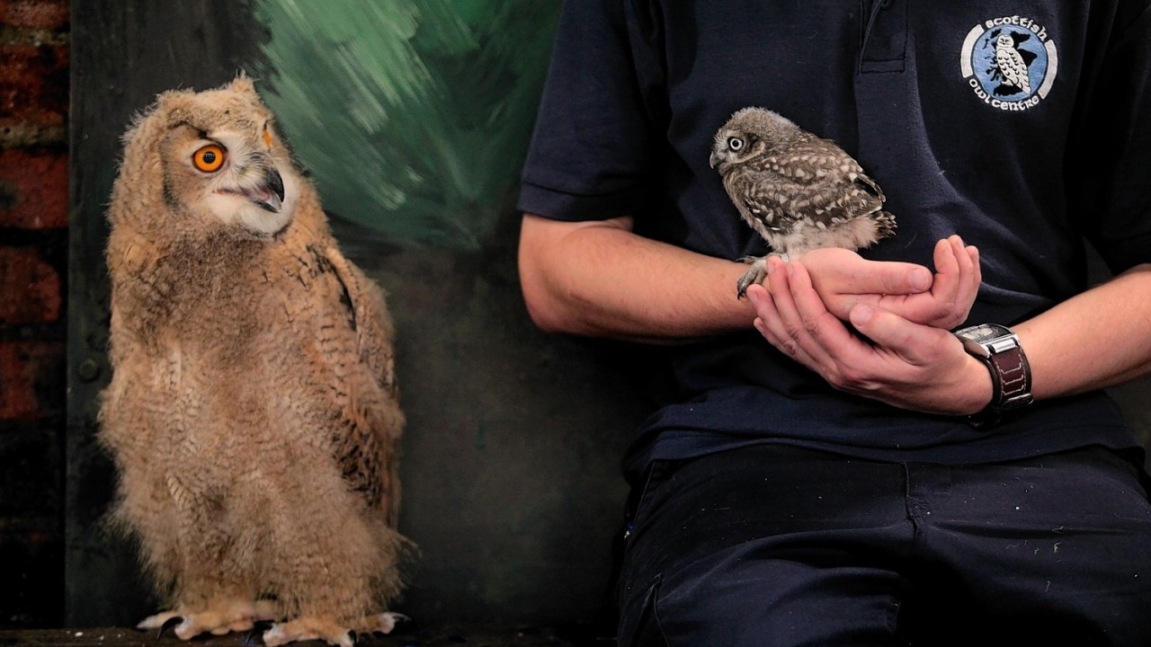 Altia, a 7 week old Siberian Eagle Owl, the largest species of owl in the world meets Powys, a 5 week old Little Owl. The pair are being raised at The Scottish Owl Centre in Scotland's central belt.