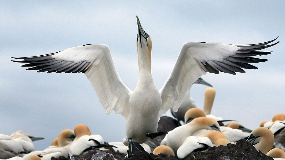 Gannets are Britain's largest seabird.