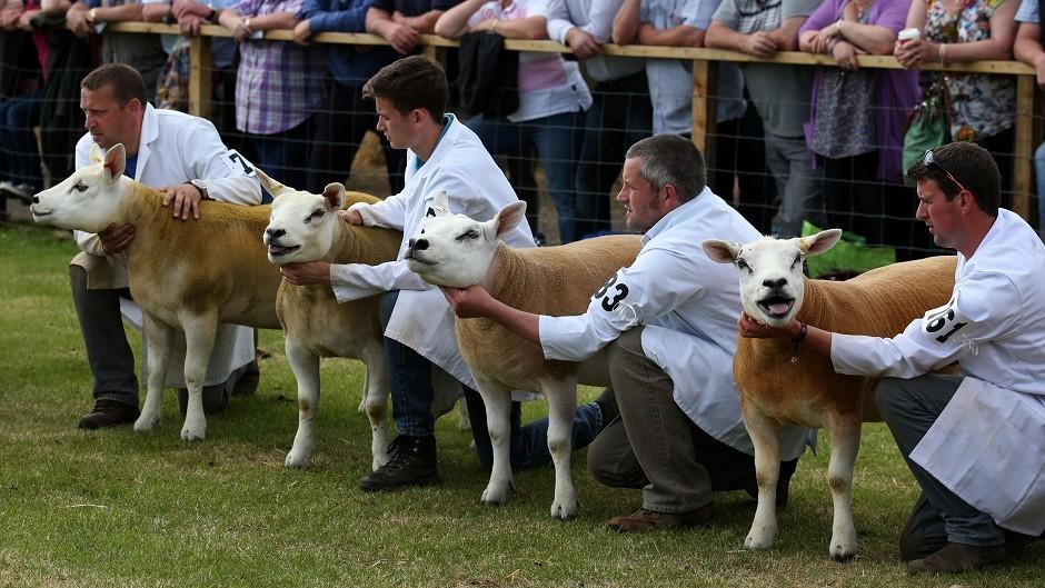 Texel sheep during judging at the Royal Highland Show in Edinburgh