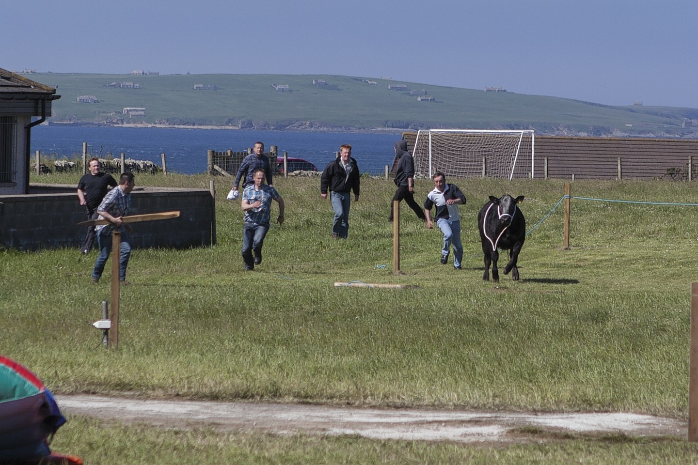 The runaway bull at Canisbay Show in Caithness