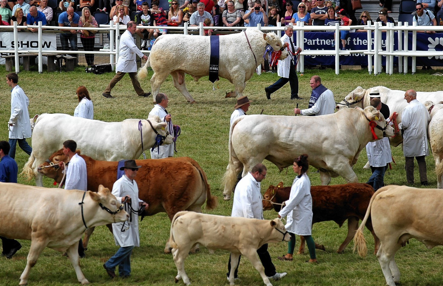 Prize-winning cattle are paraded through the main ring at the Royal Highland Show in Edinburgh.