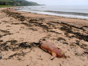 One of the headless seal carcusses on Rosemarkie Beach