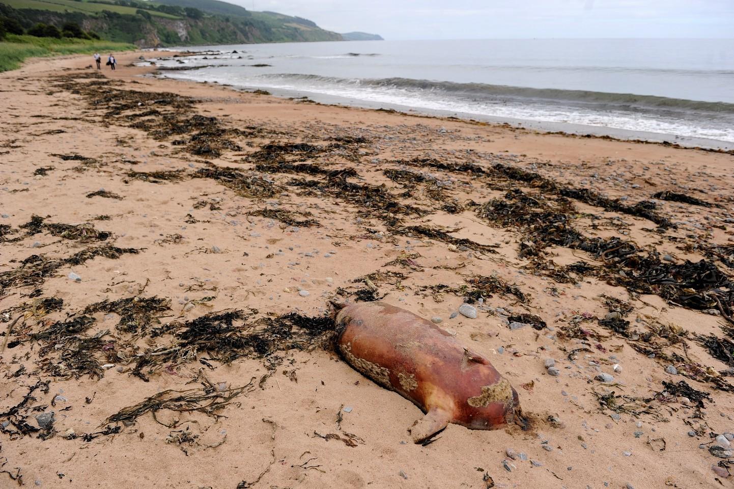 One of the headless seals at  Rosemarkie beach