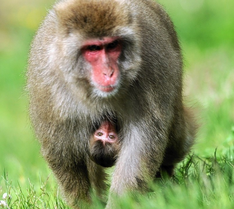 A baby snow monkey and it's mother at Kincraig's Highland Wildlife Park