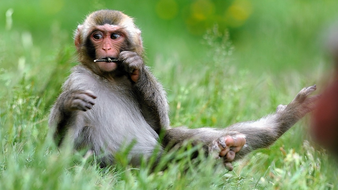 Also known as the Japanese macaque, the species is native to Japan